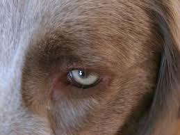 Блефарит у собак: симптомы, причины и лечение заболевания