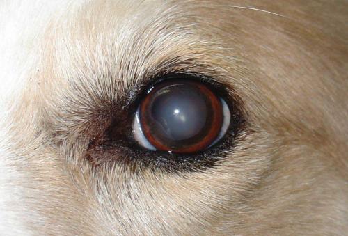 Катаракта у собак - причины, профилактика и наследственность
