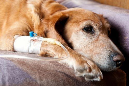 Химиотерапия у собак и кошек