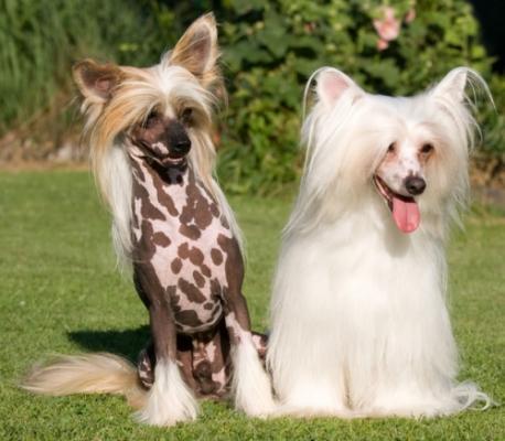 фото китайских хохлатых собак