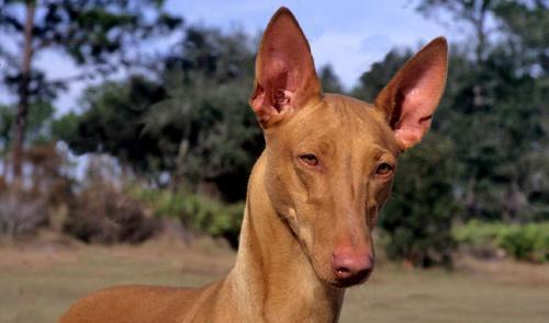 Фото египетской собаки