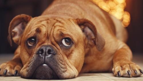 Метеоризм и газы у собаки
