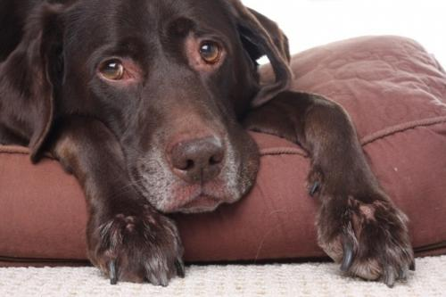 Болезни почек у собак: острая и хроническая недостаточность