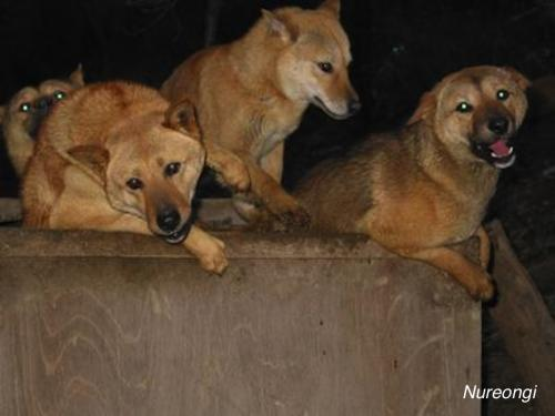 породу собаки, которую едят в Корее