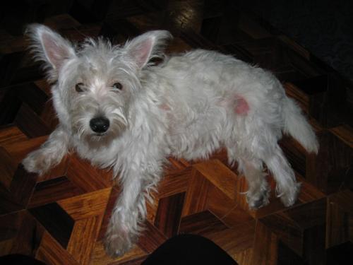саркоптоза у собак