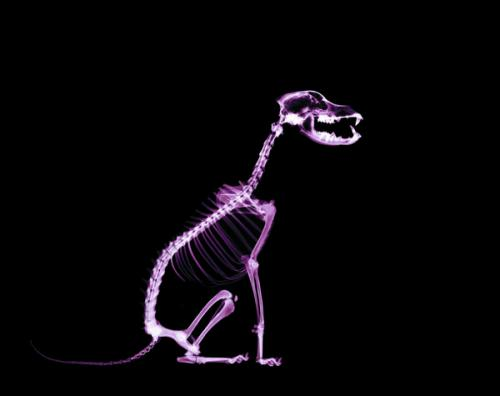спондилез у собак