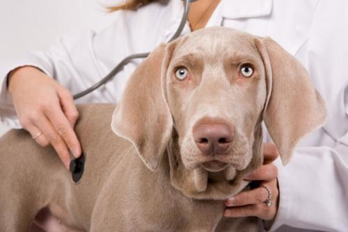 Рак у собак, симптомы и лечение