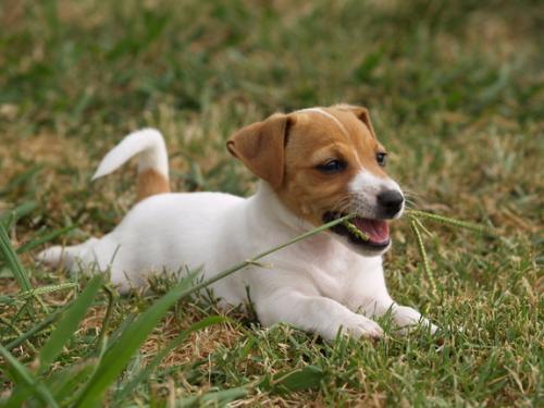 Почему собака ест траву?