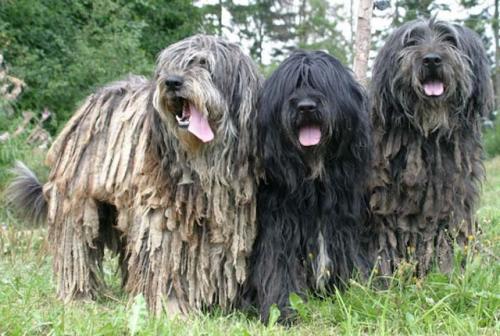 Породы собак с дредами