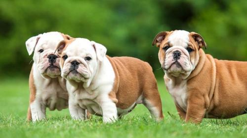 Породы собак с короткими лапами