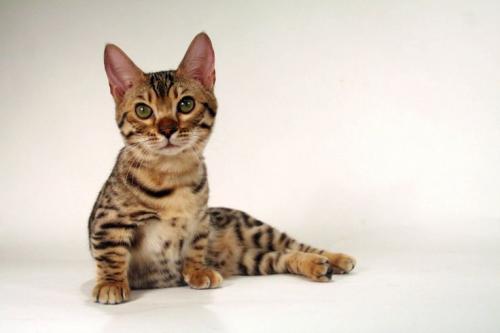 Коротколапые породы кошек