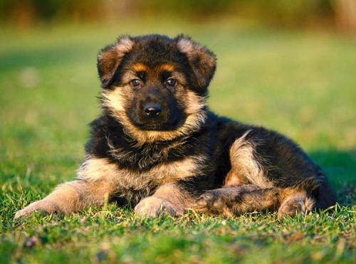 Фото щенка немецкой овчарки 1 месяц
