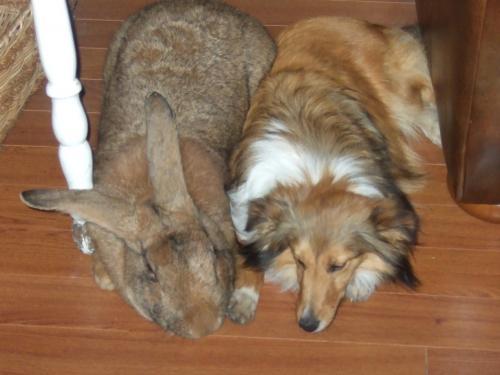 Гигантские кролики как домашние животные