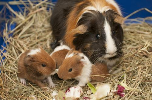 Чем кормить морских свинок в домашних условиях можно 459