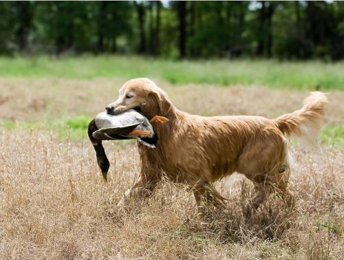 Охотничьи породы собак с фотографиями и названиями