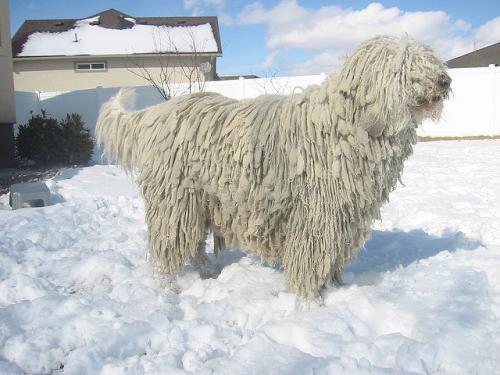 Собаки с дредами - Комондор