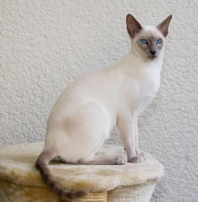 Сиамская кошка - окрас Лиловый