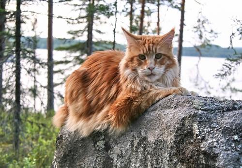 Кот Мейн-кун лежит
