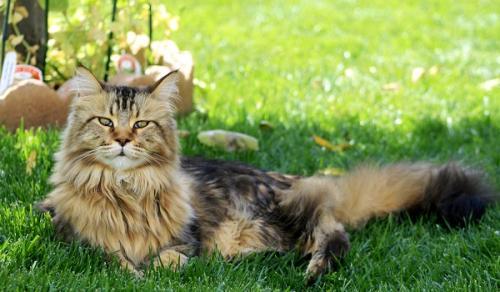 сколько живут кошки породы мейн-кун