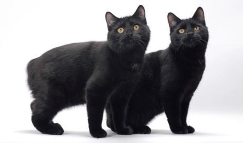 кошка без хвоста - бесхвостый мэнкс