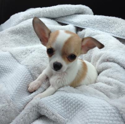 фото щенка чихуахуа мини гладкошерстный
