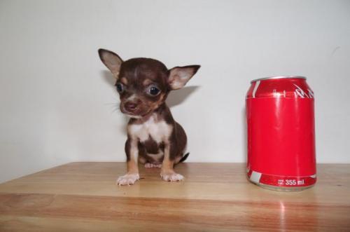фото щенка чихуахуа мини