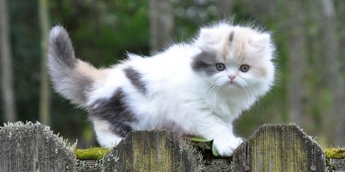 кошки с плоскими мордами
