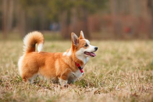 Карликовые породы собак с короткими лапами