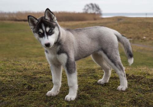 Ваш новый щенок - развитие с 12-й недели и до взрослой жизни