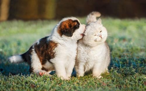 Как подружить кошку с щенком