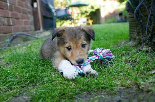 Когда щенок перестанет кусаться - отучаем щенка кусаться