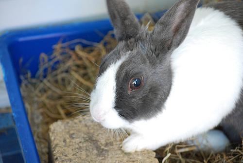 Блохи у кроликов - как вывести блох у декоративного?