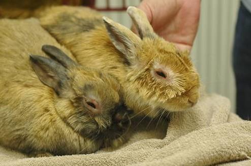 Миксоматоз у кроликов: симптомы, профилактика и лечение