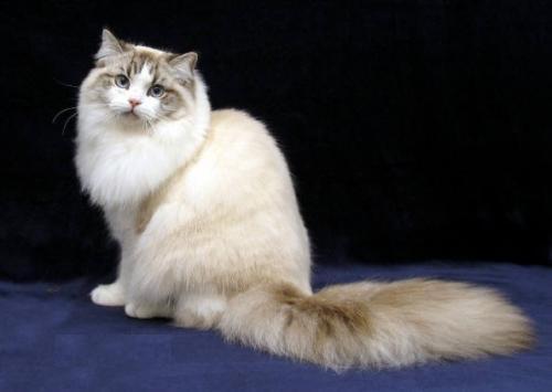 рагамаффин - порода кошки
