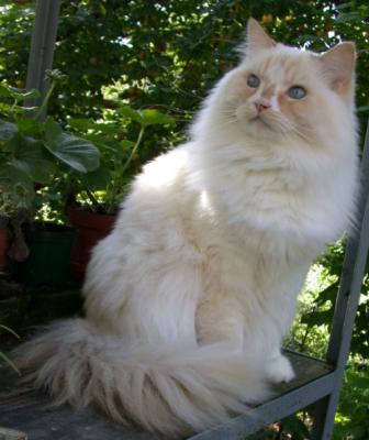 кошки рагамаффин