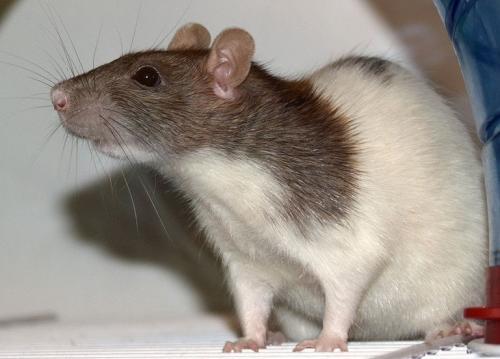 Содержание и уход за крысой
