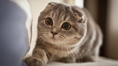 кошки с плоскими приплюснутыми мордами
