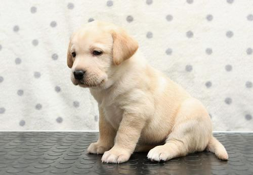 лабрадор щенок палевый