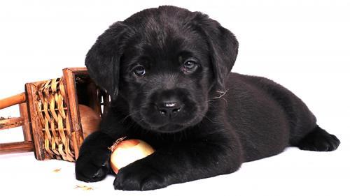 лабрадор щенок черный