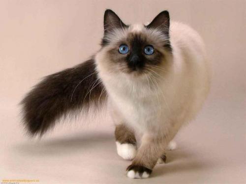 """Как жить с сиамской кошкой - особенности и характер """"сиамок"""""""