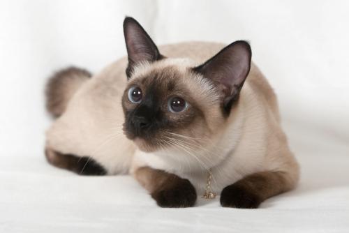 Факты о сиамских кошках и котятах