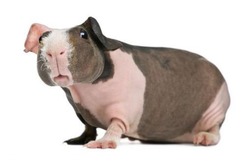 скинни морские свинки фото