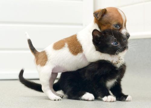 Терьеры с кошками в доме