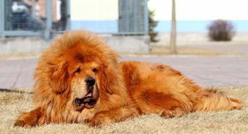 Красный Тибетский мастиф - фото