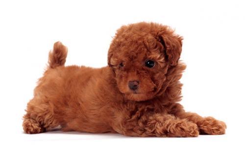 Той пудель - фото щенка