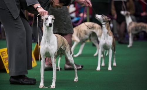 Выставки собак в Санкт-Петербурге