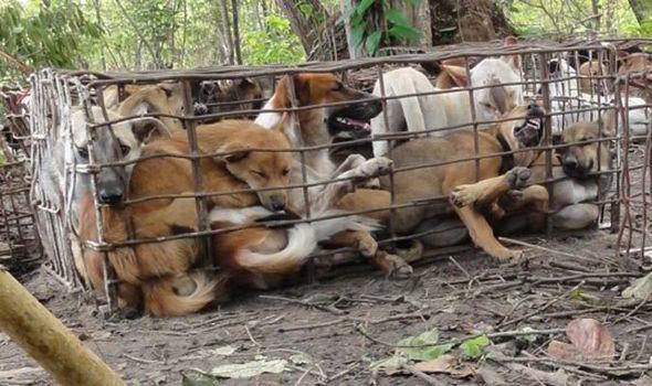 собаки, которых едят в Корее