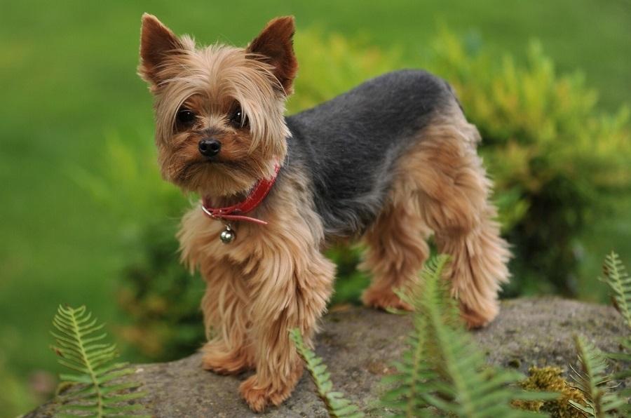 маленькая собака с волосами