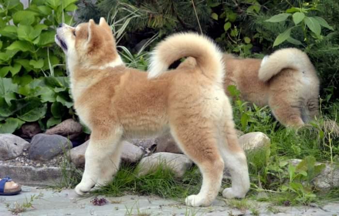 акита ину щенок 2 месяца