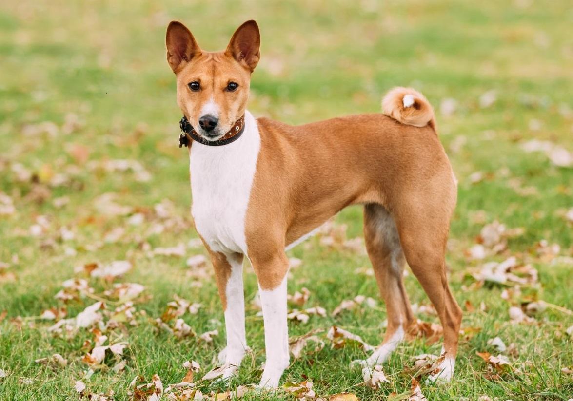 африканская безголосая собака фото